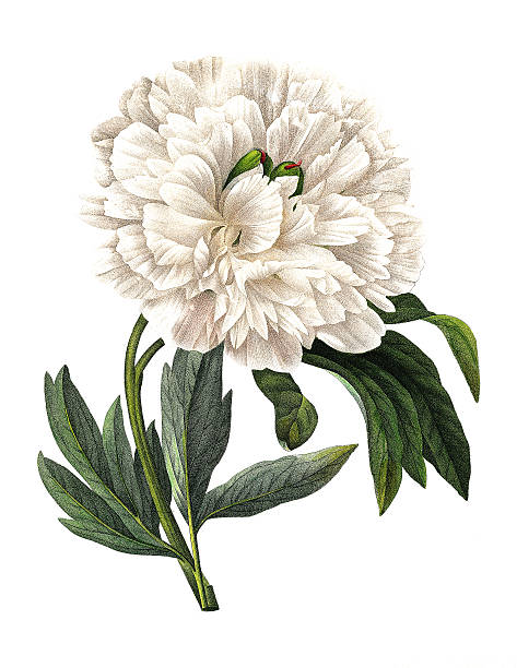 Paeonia officinalis | Redoute Flower Illustrations vector art illustration