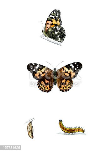 Painted Lady Butterfly with Caterpillar and Chrysalis