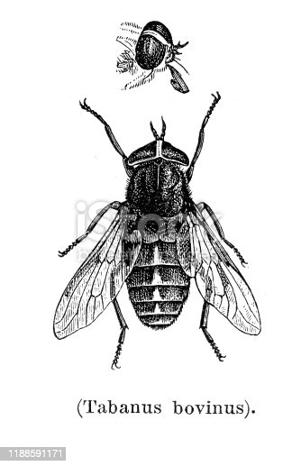 Insect Tabanus bovinus - Tabanus bovinus, sometimes called the pale giant horse-fly, is a species of biting horse-fly.  Original edition from my own archives Source :