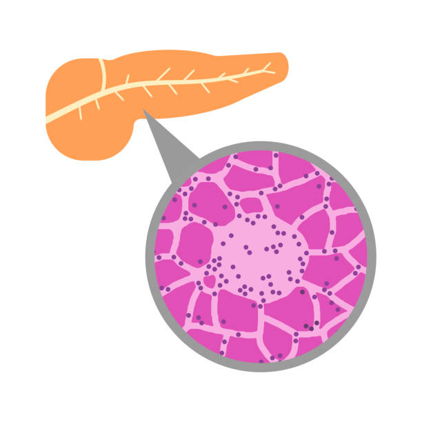 Pancreas and islets of Langerhans Langerhans Island in the pancreas. islet of langerhans stock illustrations