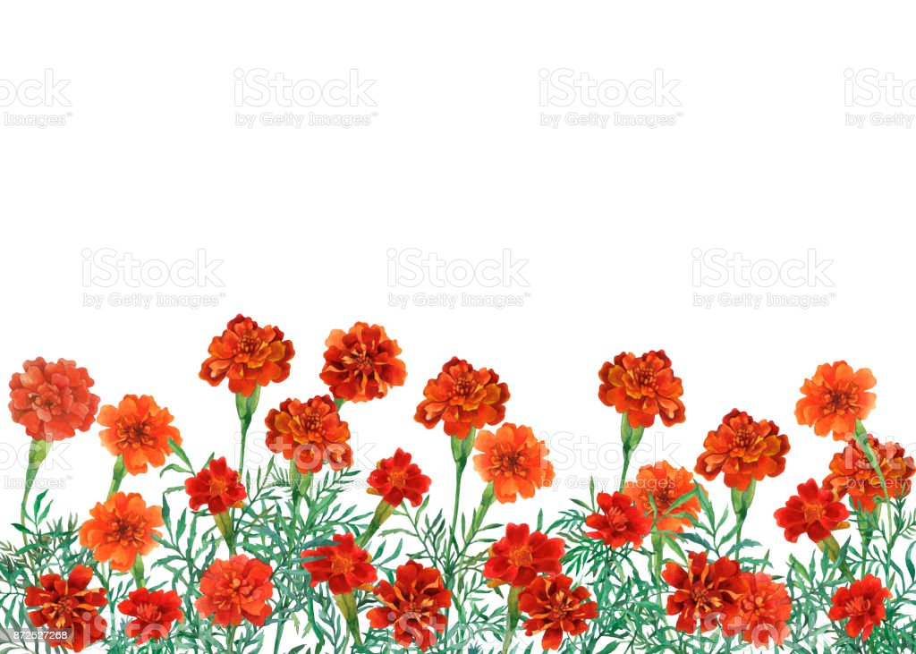 Panoramic View Of Tagetes Patula The French Marigold Horizontal Border With Flowers Watercolor