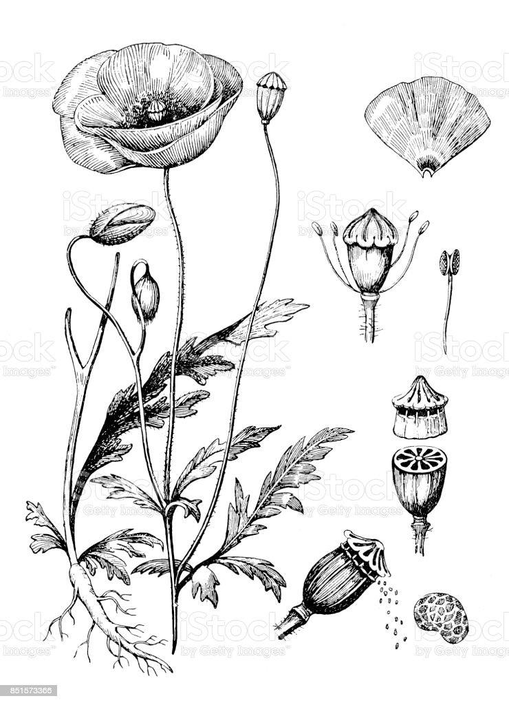 Papaver somniferum (adormidera) - ilustración de arte vectorial