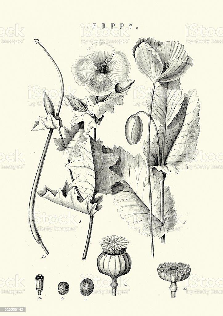 Papaver somniferum, the opium poppy vector art illustration