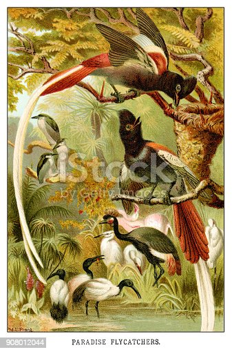 Paradise flycatchers - Scanned 1885 Color Engraving