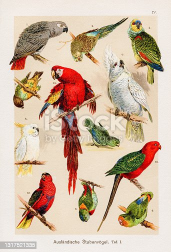 istock Parrots and Macaws Chromolithography 1899 1317521335