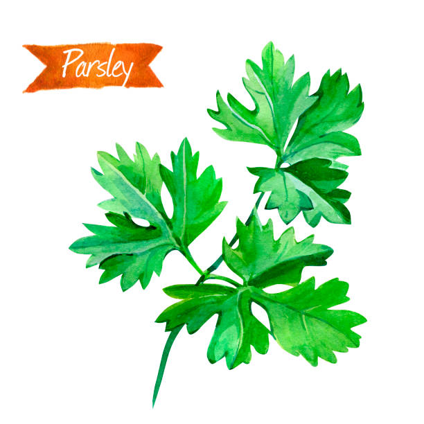 Royalty Free Parsley On White Clip Art, Vector Images & Illustrations - iStock