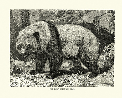 Parti-coloured bear, Giant panda (Ailuropoda melanoleuca)