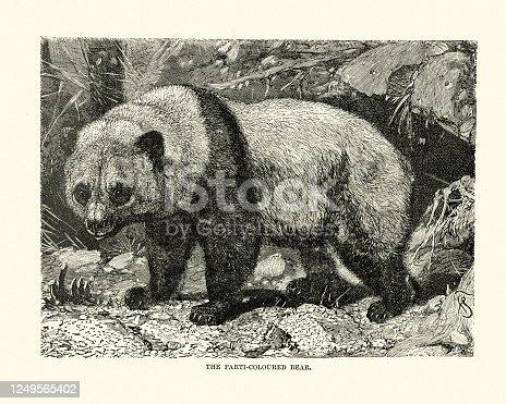 Oso partidista, panda gigante (Ailuropoda melanoleuca)