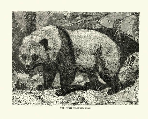 illustrations, cliparts, dessins animés et icônes de ours de couleur parti, panda géant (ailuropoda melanoleuca) - panda