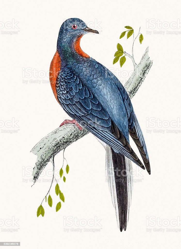Passenger pigeon bird royalty-free passenger pigeon bird stock vector art & more images of animal