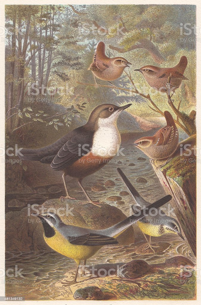 Passerine birds, lithograph, published in 1882 vector art illustration