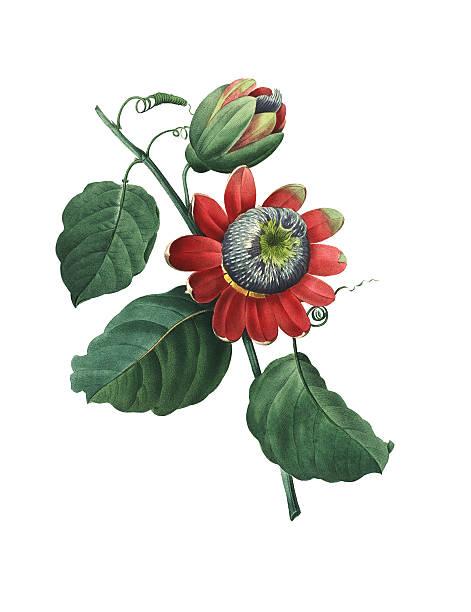 illustrazioni stock, clip art, cartoni animati e icone di tendenza di passiflora alata/antique floreale illustrazioni - illustrazioni di passiflora