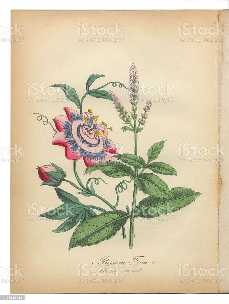 Flor De La Pasión Y Menta Verde Victoriano Ilustración Botánicos ...