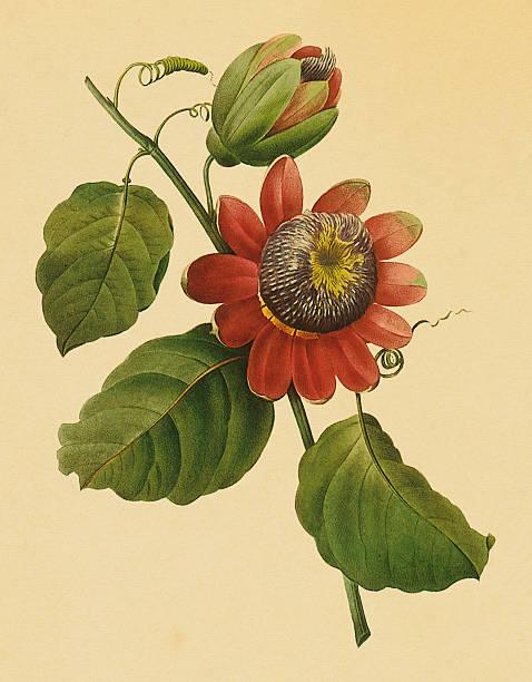 illustrazioni stock, clip art, cartoni animati e icone di tendenza di passiflora/antique floreale, illustrazioni - illustrazioni di passiflora