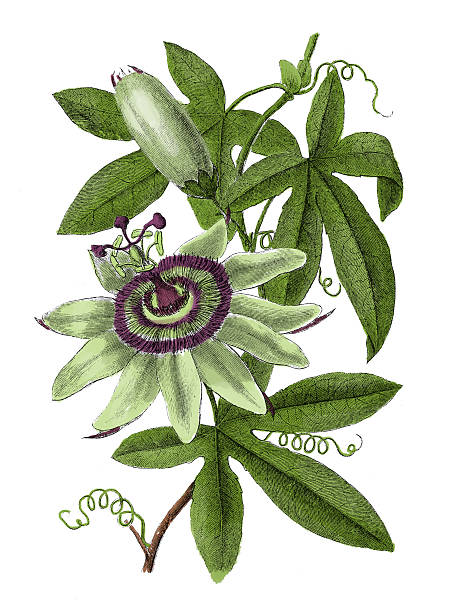 illustrazioni stock, clip art, cartoni animati e icone di tendenza di antico botanico passionflower (incisione) - passiflora