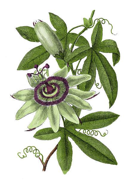 passionflower (앤틱형 식물학 조각) - 시계꽃속 stock illustrations