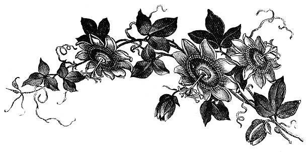 Passion Flower Line Drawing : Royalty free passion flowers silhouette clip art vector