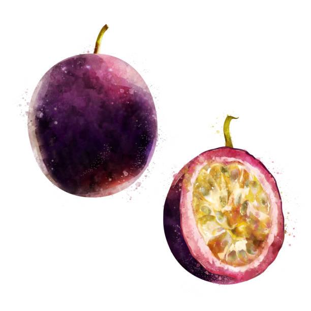 illustrazioni stock, clip art, cartoni animati e icone di tendenza di passionfruit on white background. watercolor illustration - illustrazioni di passiflora