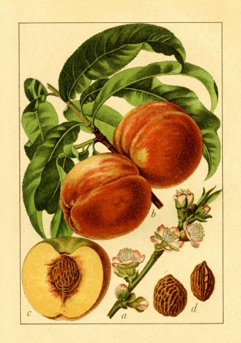 Peach | Antique Flower Illustrations
