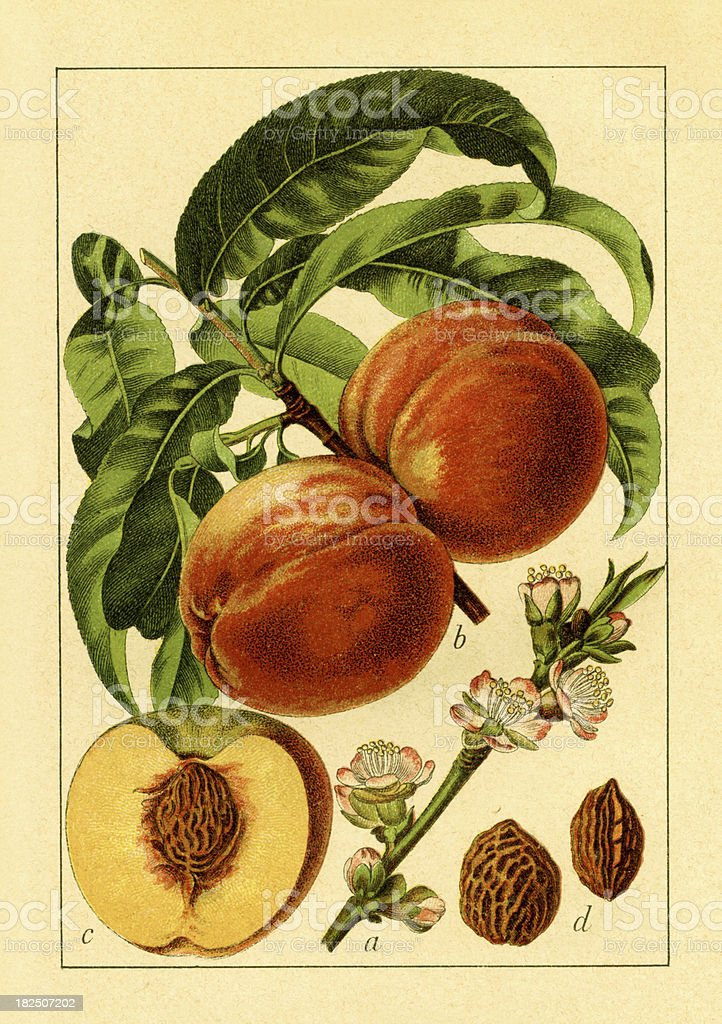 Peach | Antique Flower Illustrations vector art illustration