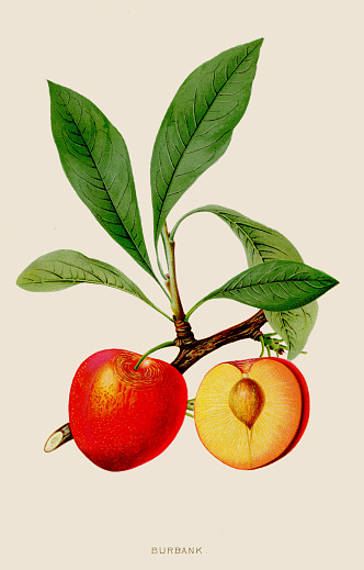 Peach burbank illustration 1891