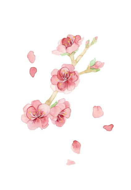 Peach flower Peach flower Pink flower, bud and petal peach blossom stock illustrations