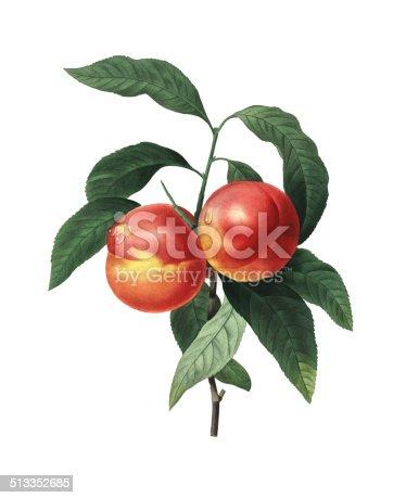 istock Peach fruits  Redoubt Flower Illustrations 513352685