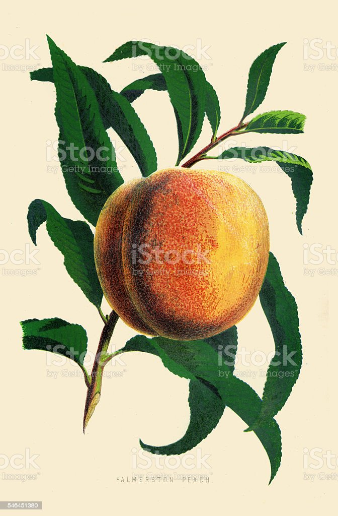 Peach illustration 1874 vector art illustration