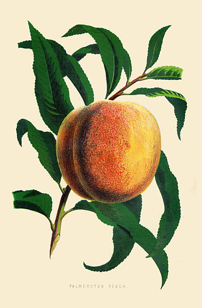 peach illustration 1874 - peach stock-grafiken, -clipart, -cartoons und -symbole