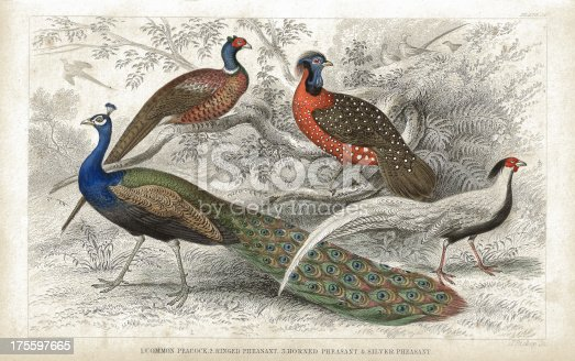 istock Peacock and Pheasants old 1852 litho print 175597665