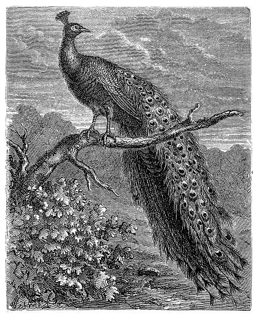 Peacock bird (pavo cristatus)