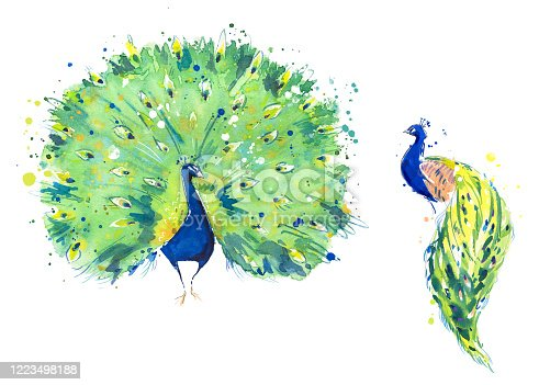 istock Peacock birds watercolor illustration, hand painted 1223498188