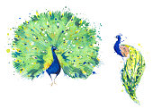 Peacock birds watercolor illustration, hand painted