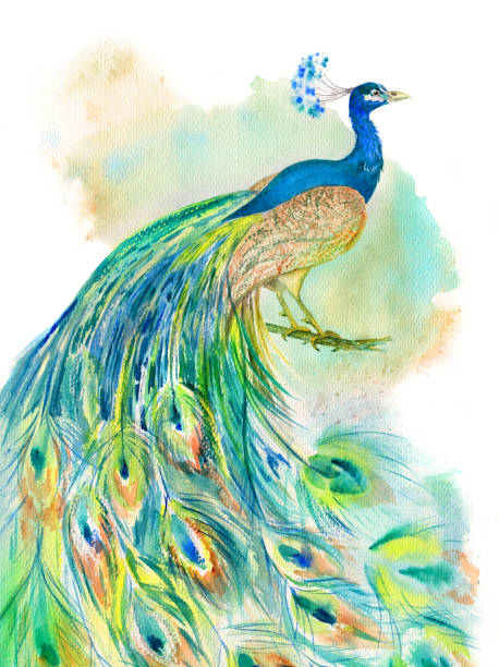 peacock watercolor - peacock stock illustrations