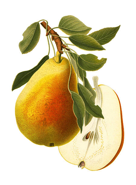 Pear vector art illustration