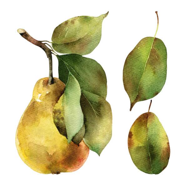 illustrazioni stock, clip art, cartoni animati e icone di tendenza di pear with leaves - mika