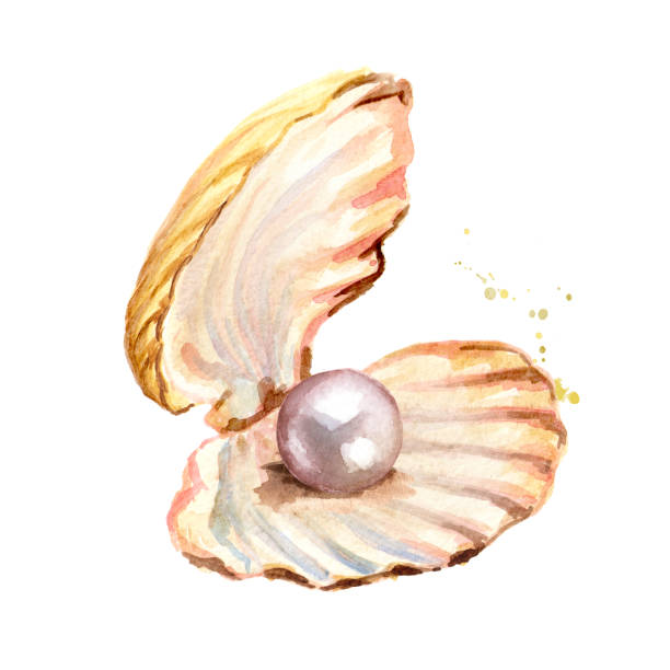Top 60 Open Clam Clip Art, Vector Graphics and ...