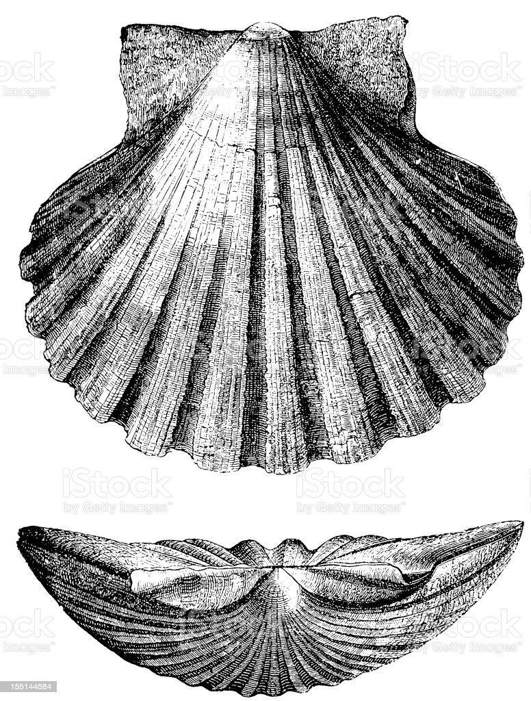 Pecten Jacobaeus vector art illustration