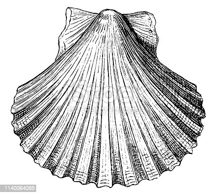 Illustration of a pecten opercularis shell seashell conch shell