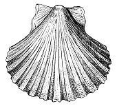 istock Pecten opercularis shell seashell conch shell 1140064055