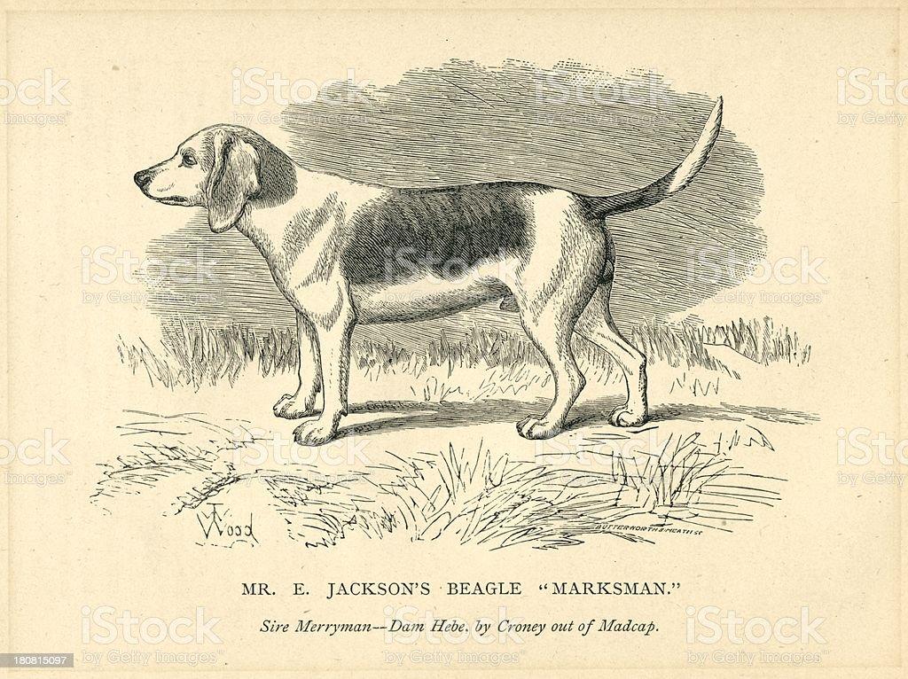 Pedigrí perro beagle Marksman nombre de perfil - ilustración de arte vectorial