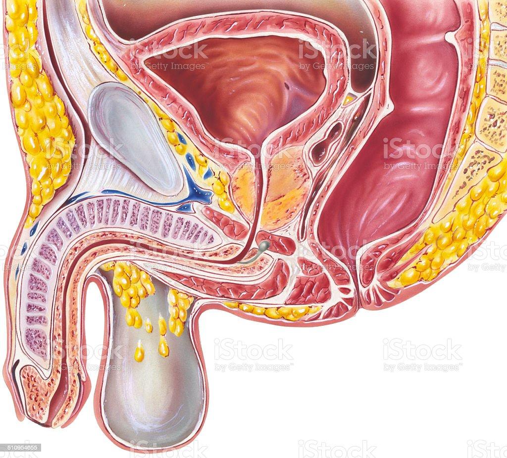 Pelvis Male Cutaway View Stock Vector Art & More Images of Anatomy ...