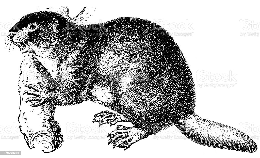 A pen and ink illustration of a beaver vector art illustration