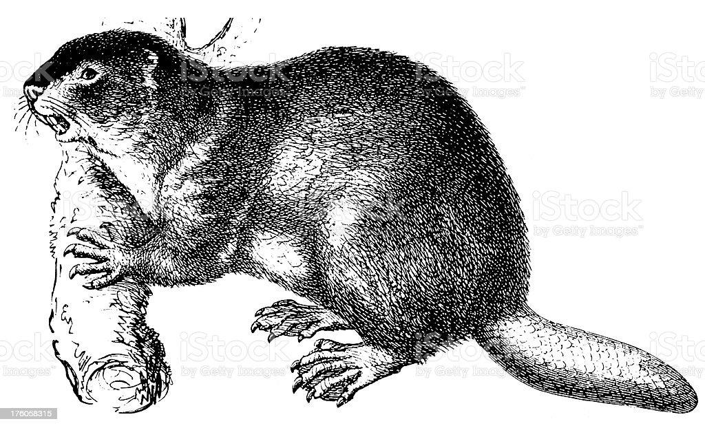 Beaver/Illustrations animalières Antique - Illustration vectorielle