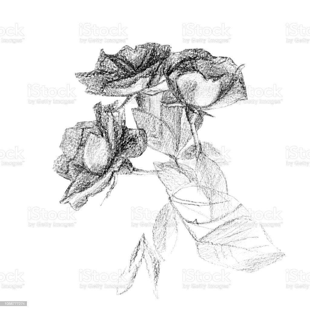 Ilustración De Lápiz De Dibujo De Un Ramo De Rosas Y Más Vectores