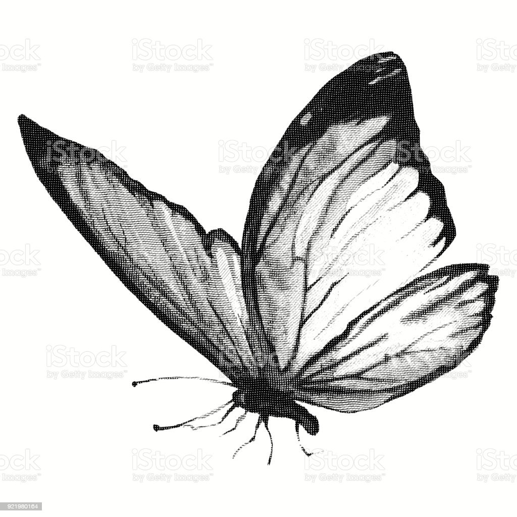 Pencil drawing of a butterfly engraving stock illustration