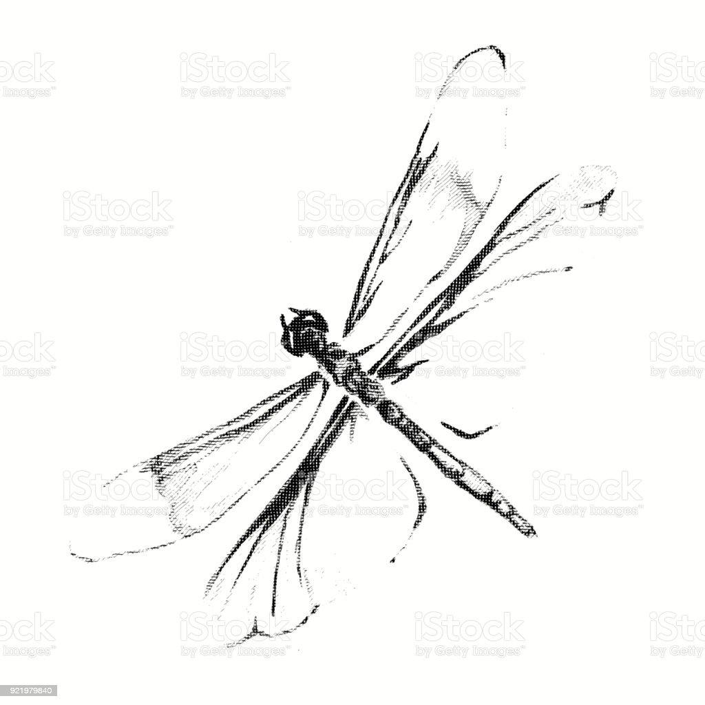 Bleistiftzeichnung Einer Libelle Gravur Stock Vektor Art und mehr ...
