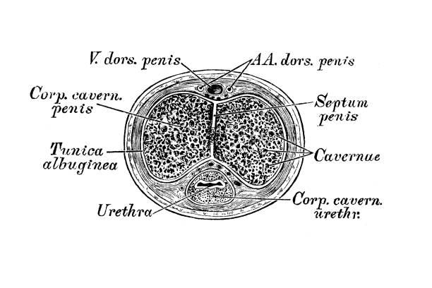 a pénisz septumja)