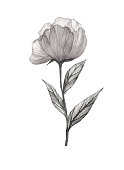 Peony flower watercolour as design element. Grey flower on white.