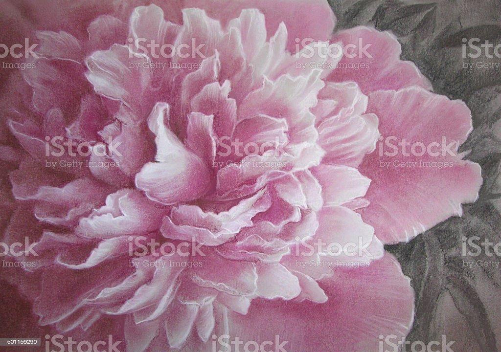 Peony - Paeonia officinalis - flower drawing. vector art illustration